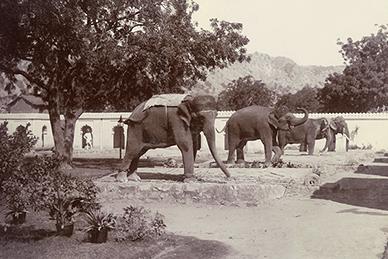Newly Captured Elephants, Jaipur Rajasthan